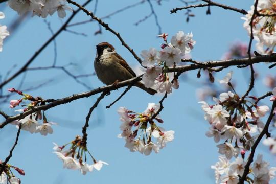 桜とすずめ3