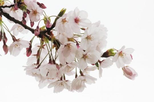 桜の花の枝