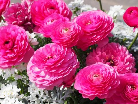 ピンク色のラナンキュラス