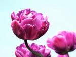 ピンク色の花びら