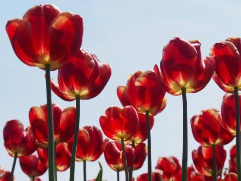 日光に透けた花びら