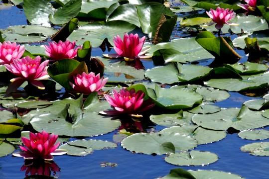 睡蓮の咲く水辺