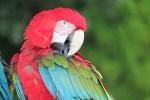 赤いコンゴウインコ