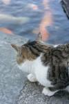 鯉を狙う猫