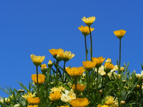春の青空と黄色い花