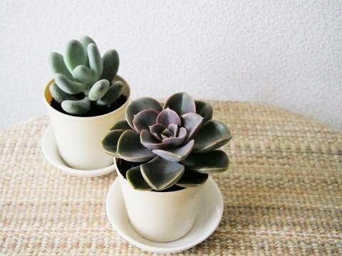 多肉植物の小さな鉢