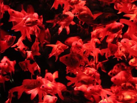 赤い金魚の群れ2