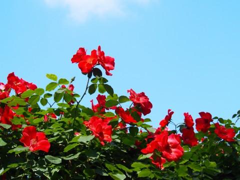 初夏の赤い薔薇