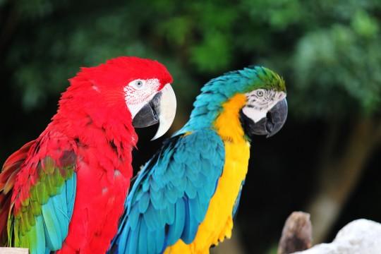 二羽のコンゴウインコ