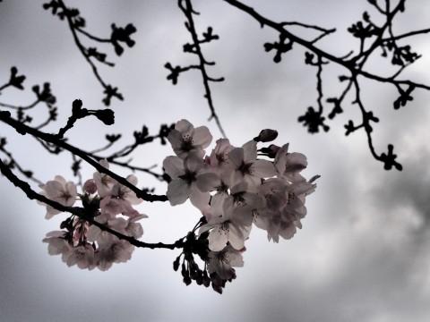 曇り空の桜