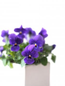 鉢植えのヴィオラ2
