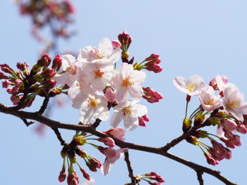 青空の下の桜