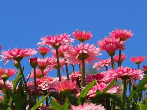 ピンク色のデイジー