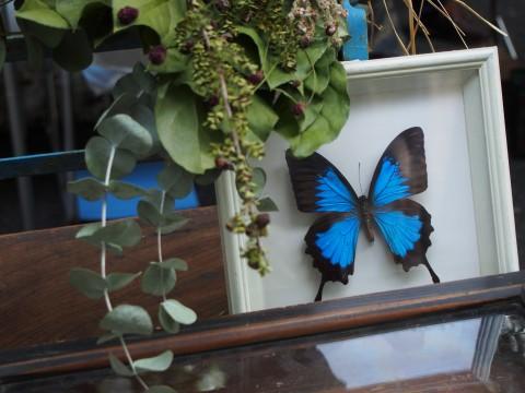 青い蝶々の標本