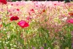 5月の花畑