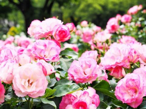 満開の薔薇