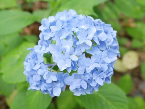 梅雨の風物詩「紫陽花」
