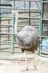 福岡市動物園のダチョウ
