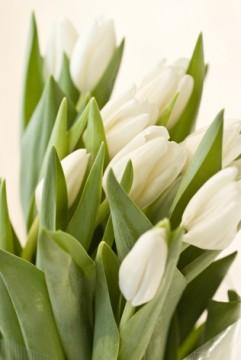 白いチューリップの花