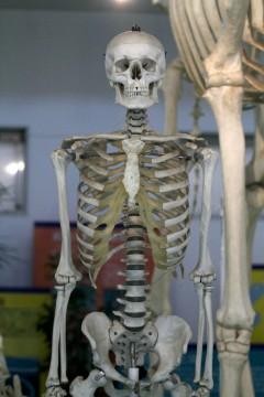 人骨の模型