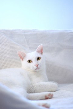 白いソファの上で佇む凛とした白猫