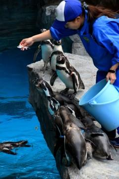 ごはんに一生懸命に群がるペンギンたち