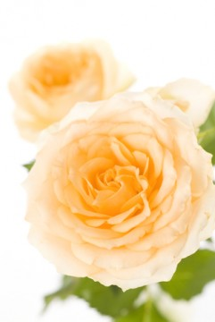 白い薔薇の花