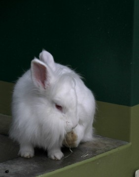 毛が長いウサギ