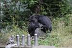うずくまるチンパンジー