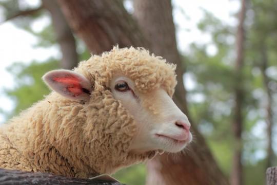 つぶらな瞳の羊