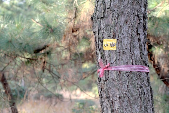 HDR撮影の松の木