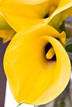 黄色いカラーの花