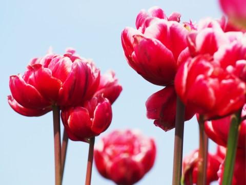 変わり咲きのチューリップ
