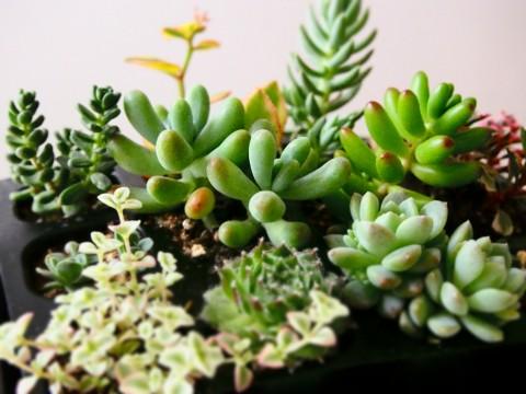 いろいろな多肉植物の苗