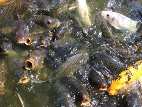 餌をねだる鯉たち