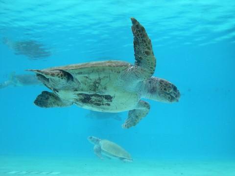 水族館のウミガメ