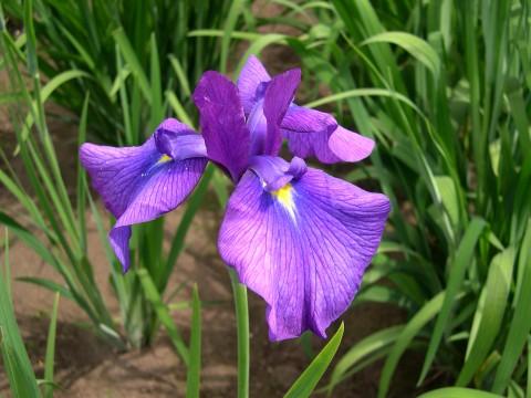 紫色の花菖蒲