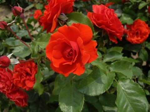 薔薇園の赤いバラ