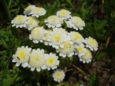 小さな白い菊