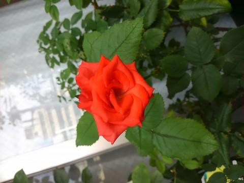 珊瑚色のバラ