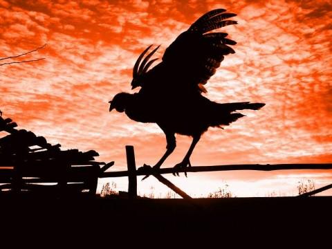 鶏と夕焼け