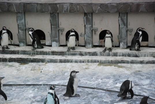 フンボルトペンギン6