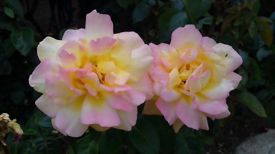 ピンクと黄色のバラ