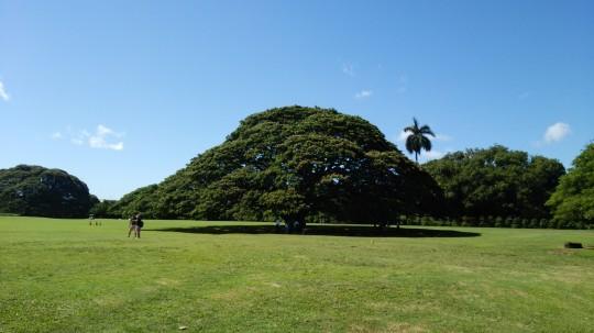 モンキーポッドの大樹