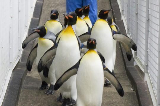 こっちに向かってくるペンギン