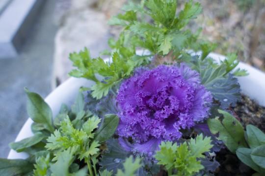 紫色の葉牡丹