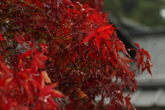 雨にぬれる紅葉
