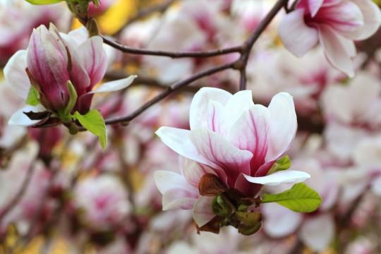 木蓮の花3