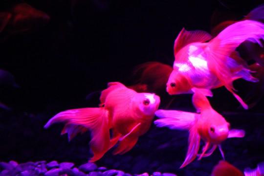 ライトアップされた金魚