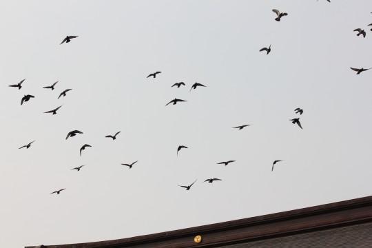 神社の上を飛ぶ鳩の群れ